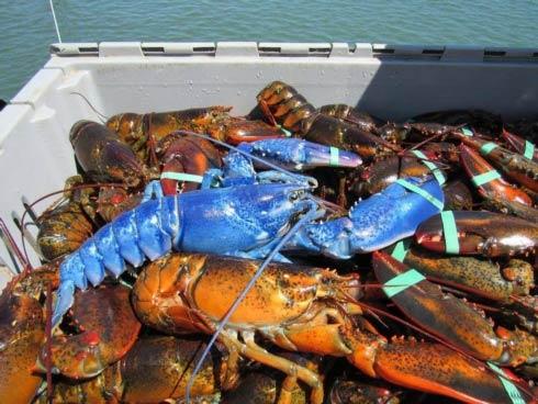 Caskata Blue Lobster