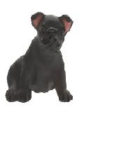 Appaloosa mini puppy